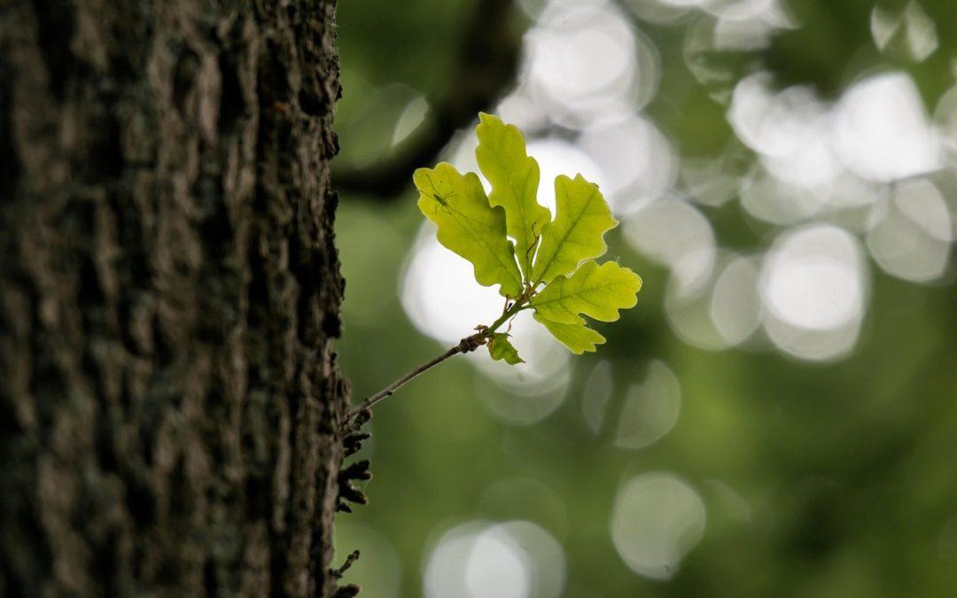 Annabis balcann oak bark gel
